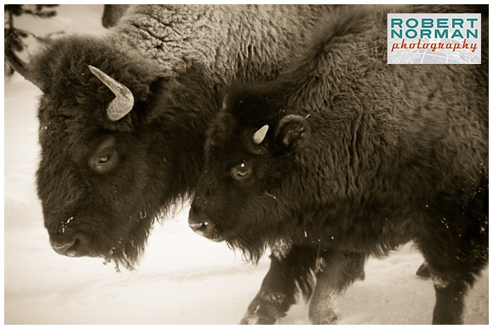 yellowstone-national-park-in-winter-bison-buffalo-baby-calf