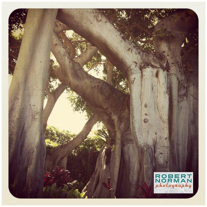 banyan-tree-maui-Lahaina-Hawaii-Maui